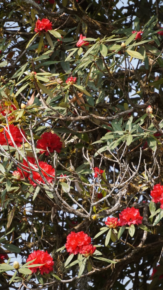 Rhododendron, Nepal National Flower