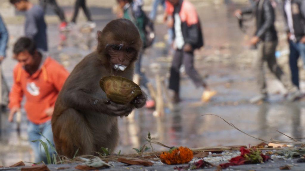 Monkey on Shivaratri